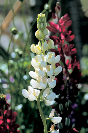 Lupinus 'Gallery Mixture'